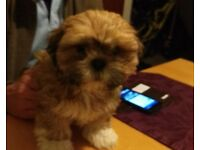 male shi tzu pup 3 months old