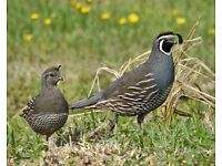 california quails