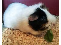 Guinea Pig , Cage, Accessories and Carry Case