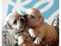 Pug Puppies for Sale White, Chinchilla, Silver Grey Chinilla White
