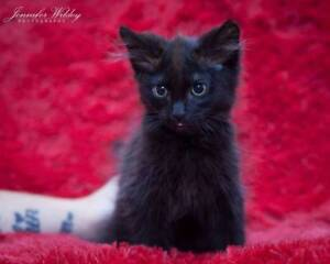 AK2847 : Emerald - KITTEN for ADOPTION - Expressions Of Interest