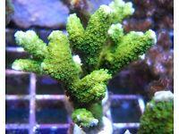 green montipora digitata frags
