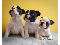 Assured Kc breeder French bulldogs health tested parents