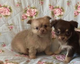 Stunning chocolate chihuahua longhair kc bitch now ready puppies small puppy cute fluffy dog girl