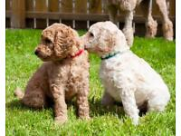 Pure bred KC Registered Standard Poodle puppies