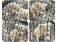 White Staff Pup male