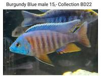 Burgundy Blue male