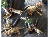 Pure Bengal Kittens for Sale London