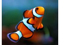 Clownfish various sizes