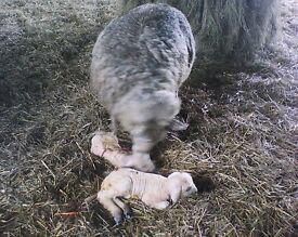 Lambing experience job offered on Somerset farm starting around 28th March , live-in