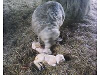 lambing experience job offered for three weeks starting around 28 March 2017 Somerset