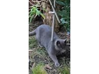 cat found in Chapel Allerton Leeds grey/blue fur with white patch on chest
