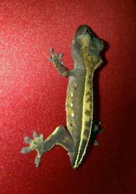 Crested gecko babies beautiful LOOK