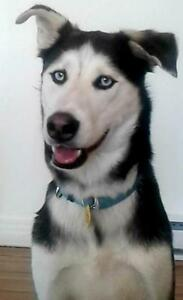 "Adult Male Dog - Siberian Husky: ""A31156537 - Loufa - Foster"""
