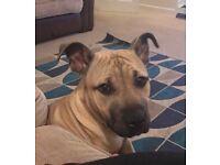 Mastiff x puppy for sale