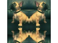 Light fawn French bulldog boy kc reg READY NOW