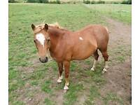 Pony for sale or full loan
