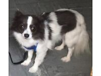 STOLEN White&Blue Chihuahua