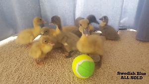 Ducks/Ducklings. Various Breeds. Burra Queanbeyan Area Preview