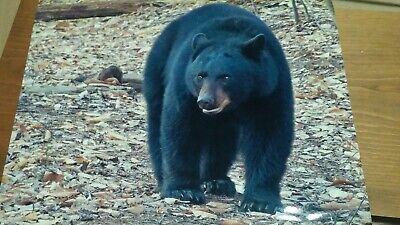 BLACK BEAR Photo Pa Black Bear 8-1/2