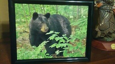 BLACK BEAR Photo Big Momma Bear 8-1/2