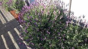 8 big lavender plants !!! $25 each or $170 FOR ALL !!! Baldivis Rockingham Area Preview