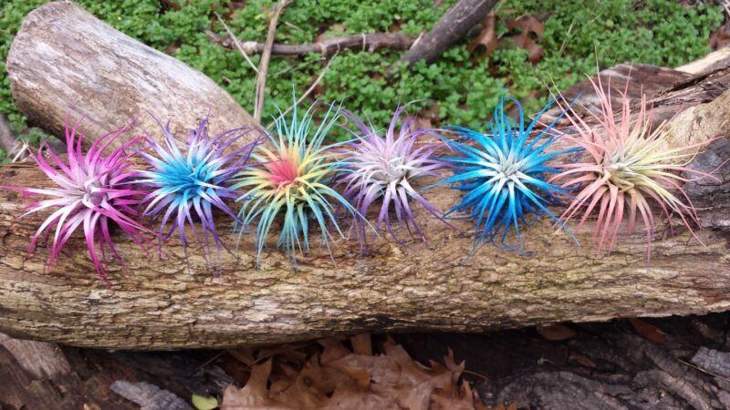 6 Tillandsia Ionantha ~Rainbow Sampler~ Colorized Fairy Garden Air Plants