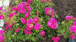 3 individual plants  GROUND COVER ROSES  CANTABURY deep pink established plants