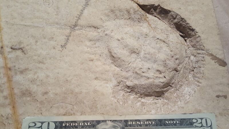 Large fossil horseshoe crab from germany