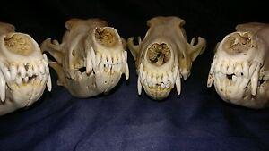 1 Real animal bone coyote skull skeleton head taxidermy parts teeth old craft