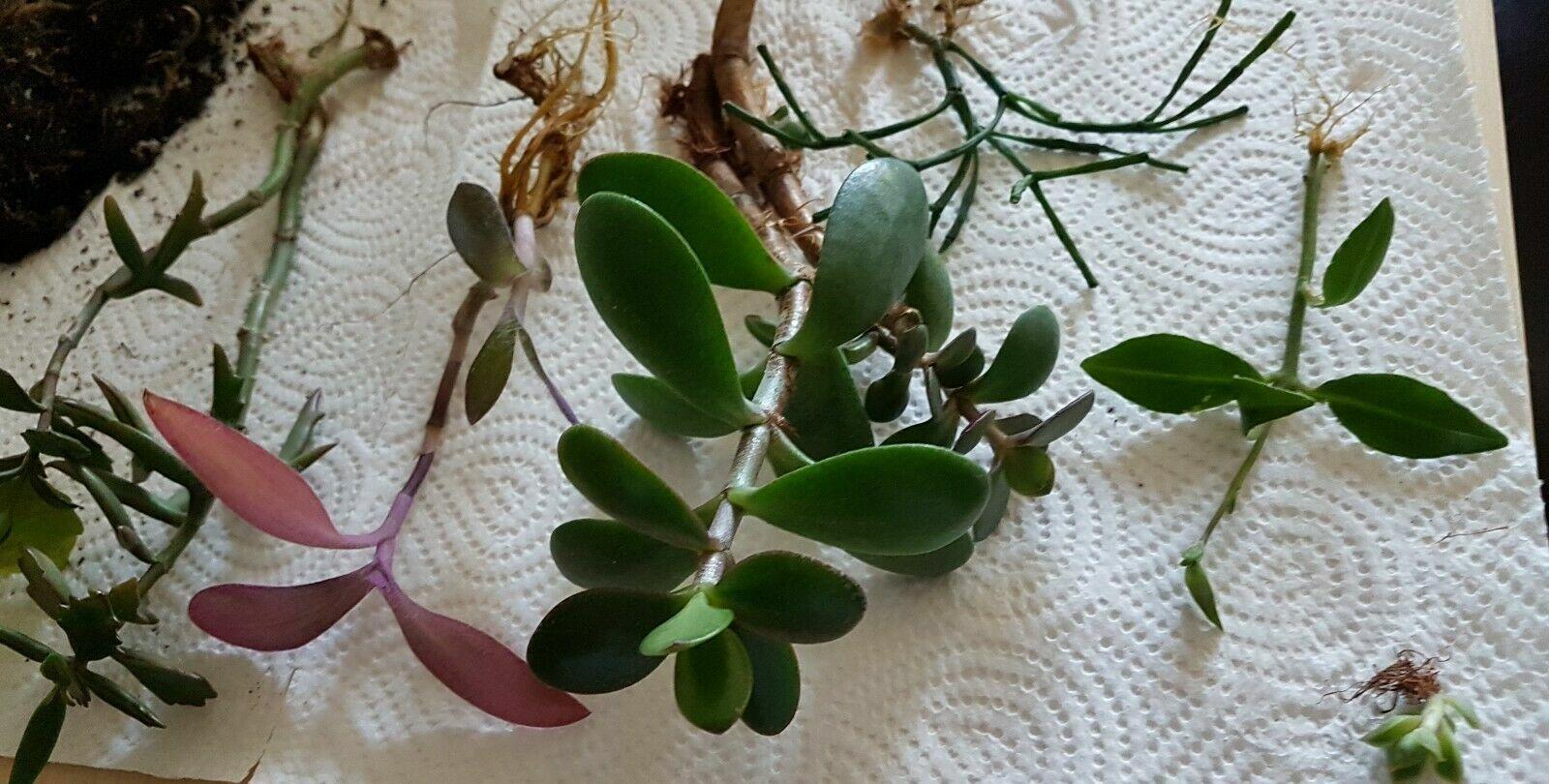 6 Sorten Zimmerpflanzen- Ableger, bewurzelt: Indoor Jungle, Efeu, Geldbaum, ...