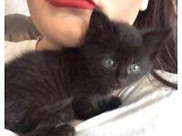 Kittens for sale 1 girl 1 boy