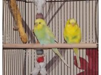 Two pairs of budgies