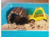 2 dwarf hamsters with all accessories