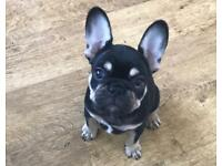 Top class male french bulldog pup