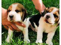 Beautiful KC Registered Beagle Puppies in west London