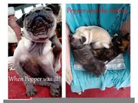 MISSING .. PEPPER the PUG. (very small!) Missing from Felinwynt Sunday 4/9/2016 about 2:30 pm