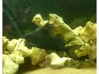 "Featherfin synodontis catfish , approx 8"" , tropical fish"