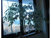 Indoor Potted 4 ft Ficus Plant complete with Plant Pot