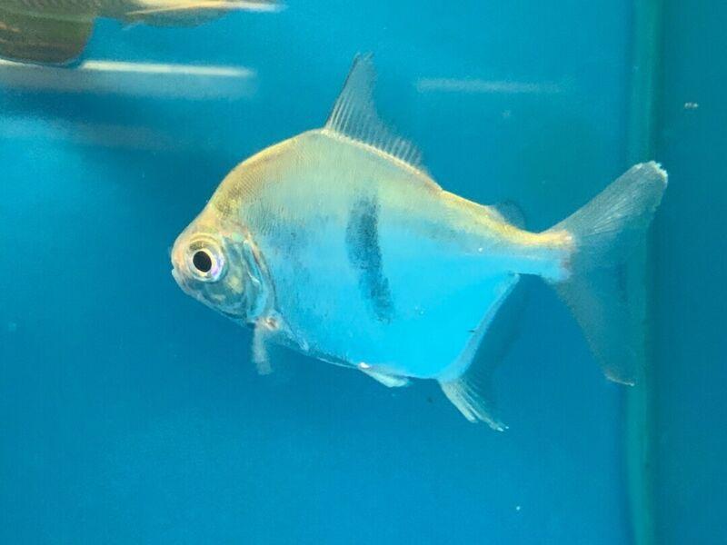 "Black bar silver dollar 3-4"" live tropical fish"
