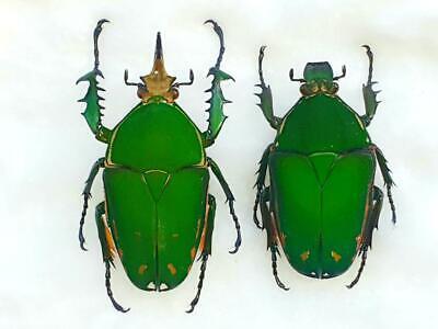 Mecynorrhina harrisi SET x1 FM A1 Green//Yellow beetle Pinned entomology artwork