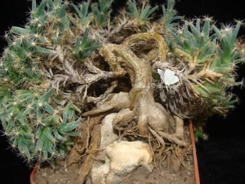 Trichodiadema densum 20 seeds Africans CAUDEX plant small bonsai