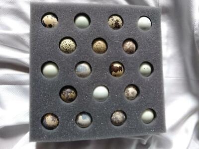 16 Fertile Coturnix Mixed Eggs Free Shipping