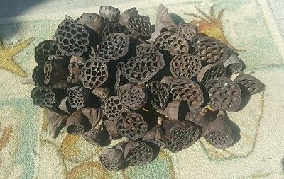 10 Dried Hand-Picked Natural LOTUS PODS  For Crafts, Floral (Lotus Pods)