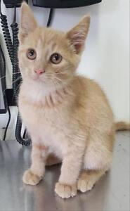 "Baby Male Cat - Domestic Short Hair: ""Copperfield"""