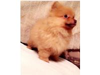 Rare brown nose Pomeranian boy