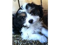 Beautiful Cavachon Boys 8Weeks Old Puppy updated 14/12