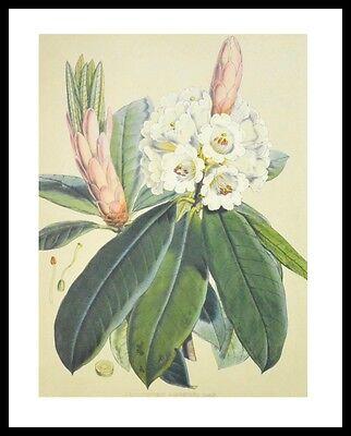 J.D. Hooker Rhododendron Argenteum Poster Bild Kunstdruck im Alu Rahmen 50x40cm