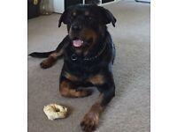 3 Year old Rottweiler (Girl)