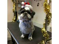 Missing male shihtzu